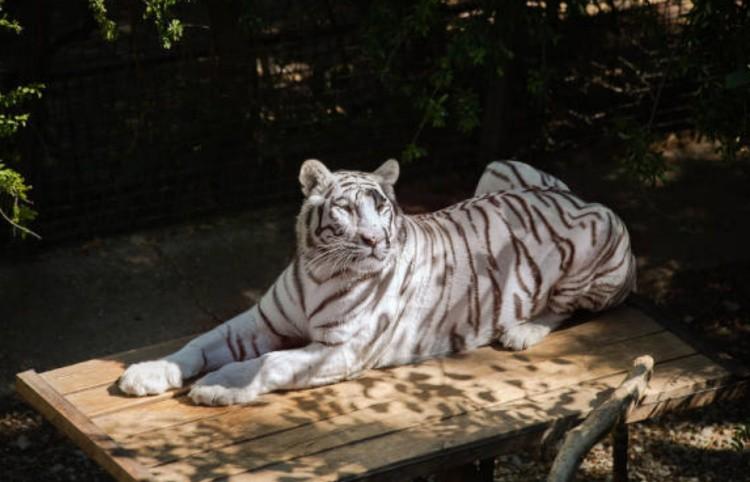 Тигр-тигр совместимость фото