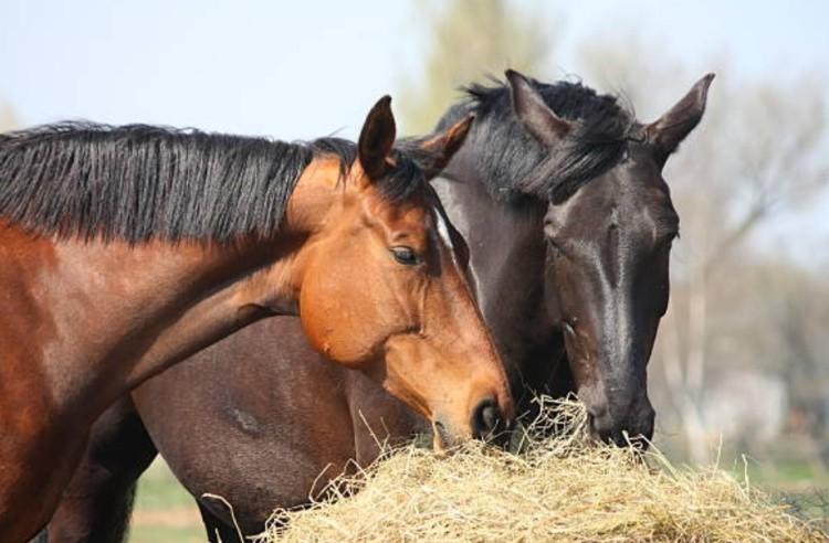 Две лошади
