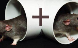 Крыса-крыса совместимость