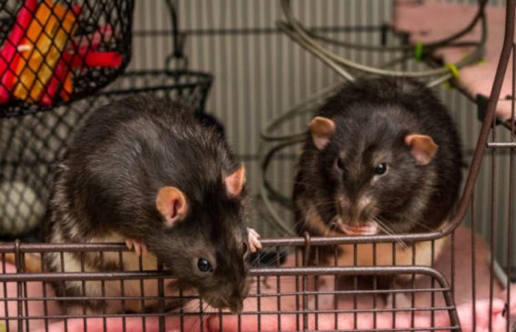 Крысы фото