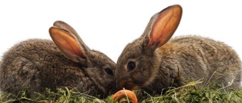 Кролик-кролик совместимость