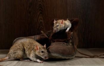 крысы во сне что значит
