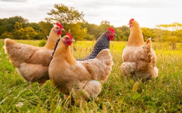 Курицы фото